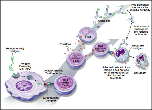 Immune Response to Self or Foreign Antigens