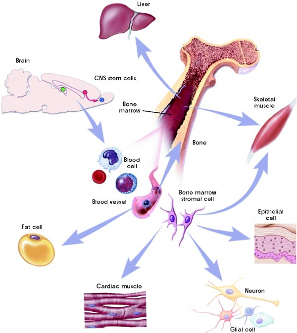 Graphic depicting plasticity of adult stem cells