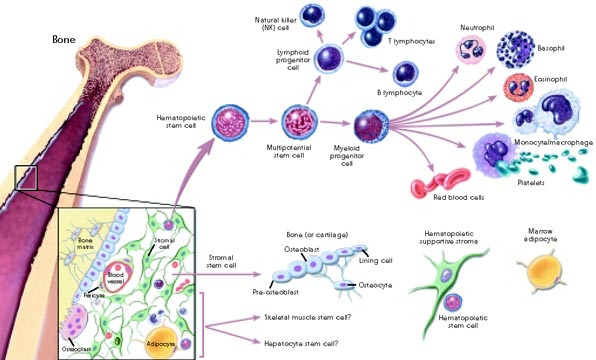 Graphic depicting steps in hematopoietic and stromal stem cell differentiation
