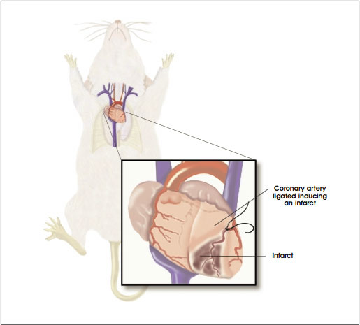 Rodent Model of Myocardial Infarction