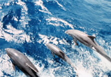 Photo of dolphins in ocean.