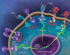 An illustration of HER proteins involved in an intracellular signaling pathway that controls cell growth