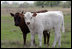 Longhorn calves look at the camera as they romp at the Bush Ranch in Crawford, Texas Monday, April 2, 2006.