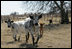 Longhorn Cattle, who live on President and Mrs. Bush's Prairie Chapel Ranch in Crawford, Texas, run towards the camera for their close-up, February 2006.