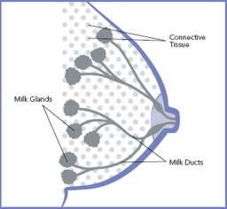 Diagram of the Breast, Showing Connective Tissue, Milk Glands, and Milk Ducts