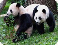Tian Tian and Mei Xiang