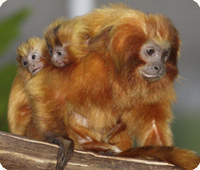two young golden lion tamarins clinging to their father's back