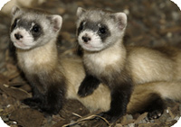 black-footed ferret kits