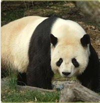 Tian Tian, a giant panda at the National Zoo