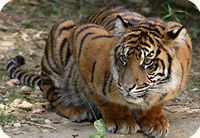 tiger cub in June
