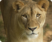 Shera, one of the Zoo's lions