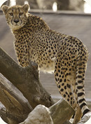 Amani, female cheetah at the Zoo