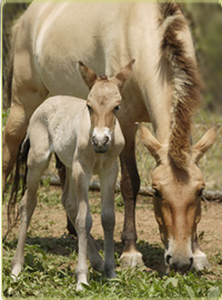 mother and foal Przewalski's horses