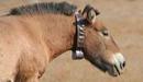 p-horse