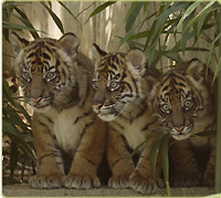 three Sumatran tiger cubs