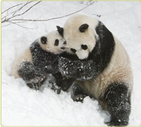 Mei Xiang and Tai Shan playing in the snow