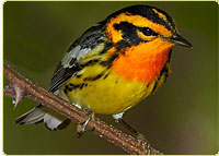 Blackburnian Warbler, a migratory bird of North America © Gerhard Hofmann