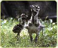 kori bustard chicks