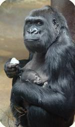Western lowland gorilla Mandara and her newborn, photo by Jonathan Kang
