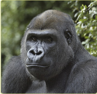 Baraka, a male gorilla at the Zoo