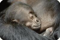 newborn gorilla, photo by Jonathan Kang