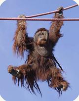 orangutan on the O Line