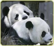the Zoo's giant pandas