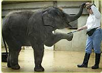 Keeper Debbie Flynn trains Asian elephant Kandula