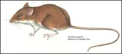Striped field mouse (Apodemus agrarius)