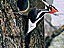 A large black-and-white bird with a red crest on its head clings to the side of a tree