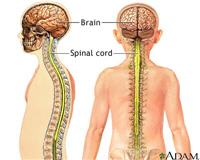 Diagram of the brain and spinal cord