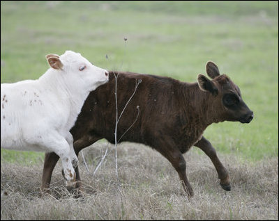 Longhorn calves romp at the Bush Ranch in Crawford, Texas Monday, April 2, 2006.