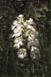 Prairie Fringed Orchid: Threatened Species