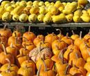 pumpkins and spaghetti squash