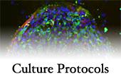Culture Protocols