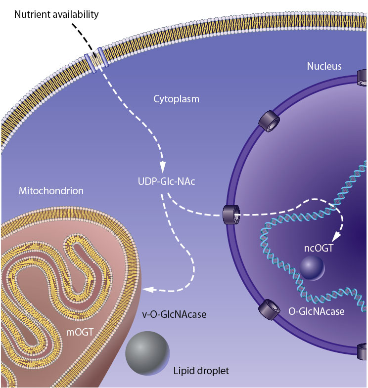 The Hexosamine Signaling Pathway