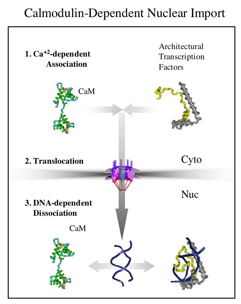 Calmodulin-dependent nuclear import