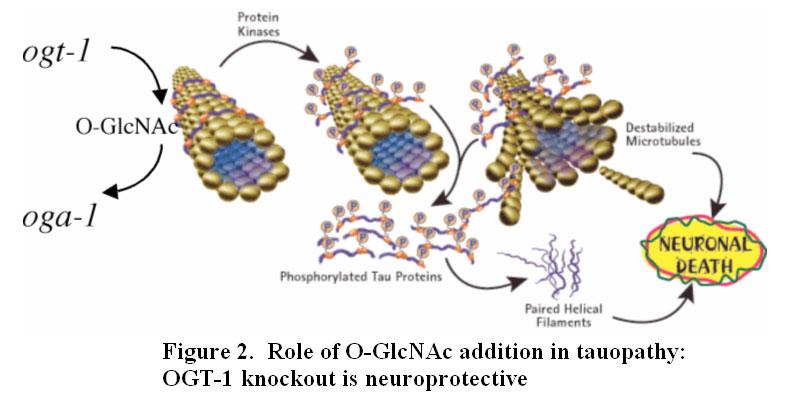 Hexosamine Signaling and Taopathy