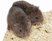 Prairies voles (Microtus ochrogaster)