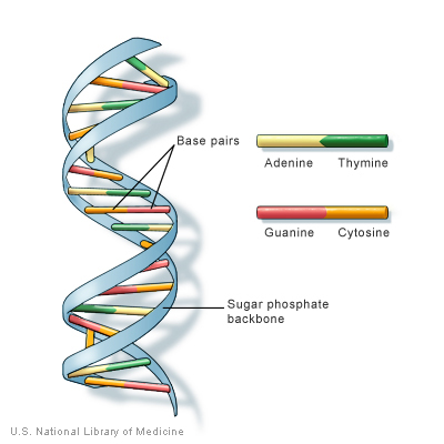 DNA is a double helix formed by base pairs attached to a sugar-phosphate backbone.