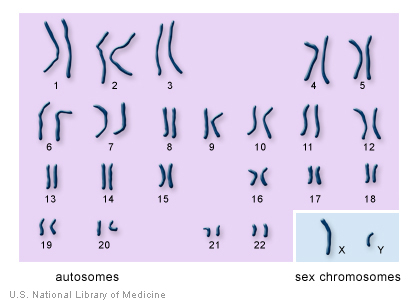 The 22 autosomes are numbered by size. The other two chromosomes, X and Y, are the sex chromosomes.  This picture of the human chromosomes lined up in pairs is called a karyotype.