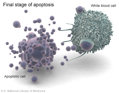 When a cell undergoes apoptosis, white blood cells called macrophages consume cell debris.