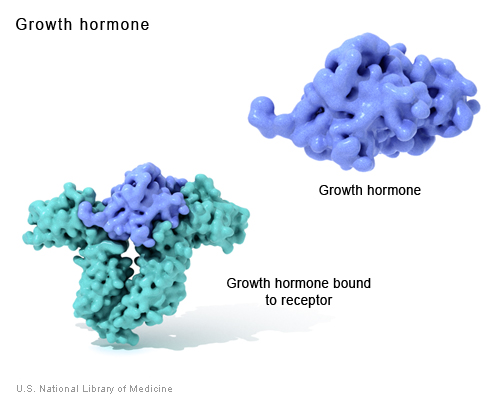 Growth hormone is a messenger protein made by the pituitary gland.  It regulates cell growth by binding to a protein called a growth hormone receptor.