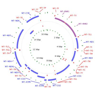 circular structure with genes and regulatory regions labeled
