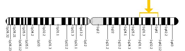 The PSEN2 gene is located on the long (q) arm of chromosome 1 between positions 31 and 42.
