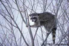 Photograph of a raccoon in a tree
