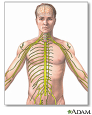 Illustration of the nervous system, including brain, spinal cord, and peripheral nerves