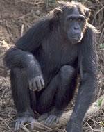 Image of chimpanzee.