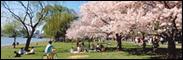 Panoramic - Cherry Blossom