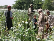 800px-Opium_poppies_in_Helmand_-a